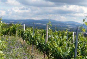 Weinregion Mainz-Laubenheim